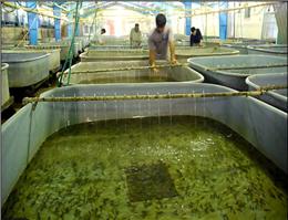 بندرگز به قطب تولید ماهیان خاویاری تبدیل شود
