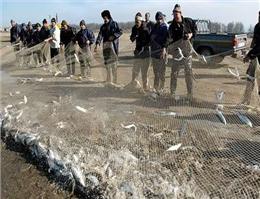 افزایش چشمگیر صید ماهی آزاد در آبهای مازندران