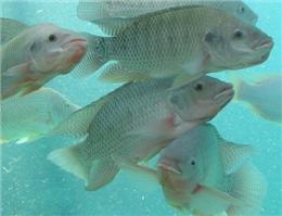 احتمال ورود ماهی تیلاپیا به تالاب های خوزستان