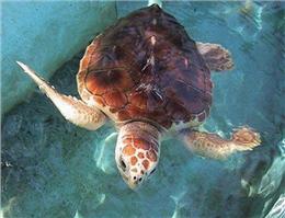 لاکپشتهای دریایی برای تخم ریزی به سواحل چابهار آمدند