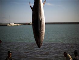 بیشترین صید تن ماهیان کشور در سیستان