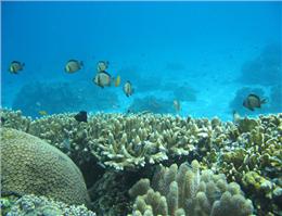 ادامه مطالعه مرجان های آبسنگ ساز در جزیره هنگام