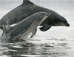عدم نظارت بر طرح حفاظت از دلفین های هنگام