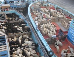 توقف صادرات دام زنده از بنادر خوزستان