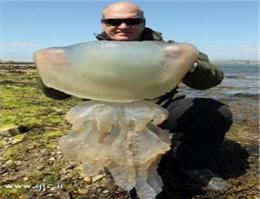 کشف عروس دریایی غول پیکر در ساحل آمریکا