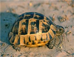 تخم گذاری لاک پشت زیتونی در سواحل خلیج فارس