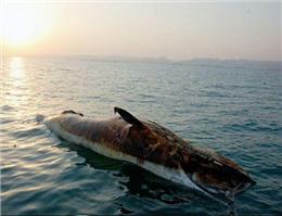 مرگ 47 پستاندار دریایی خلیج فارس طی سه سال گذشته
