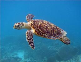 آغاز مقدمات طرح حفاظت لاک پشت های دریایی بوشهر