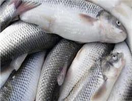 رشد 36 درصدی صید ماهی سفید در دریای خزر