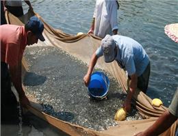 تداوم تكثیر طبیعی ماهیان دریای خزر در رودخانه ها